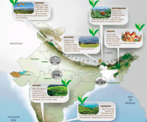 A brief Introduction to Indian Tea